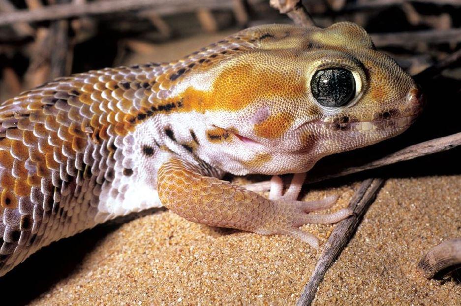 Keeping geckos a pets