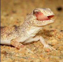 Feeding your gecko.