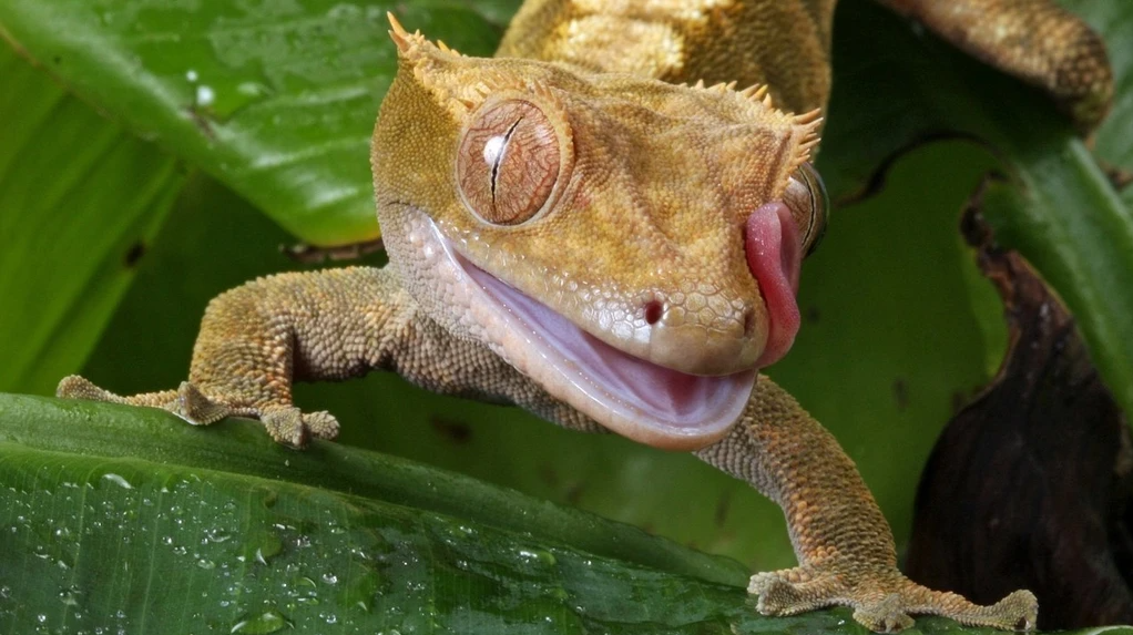 Crested gecko humidity