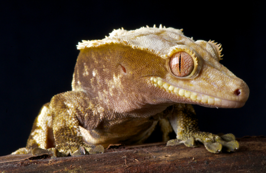 Crested gecko sexing