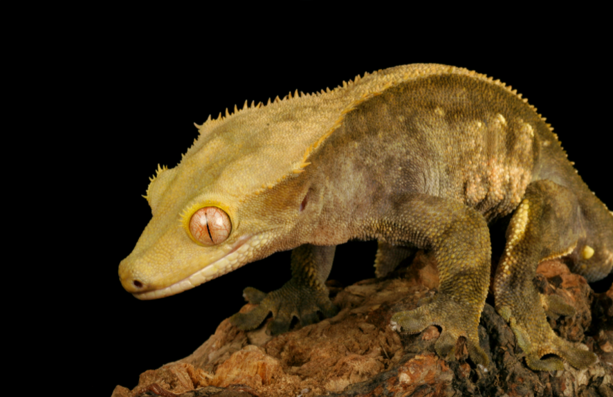 How to breed crested geckos.