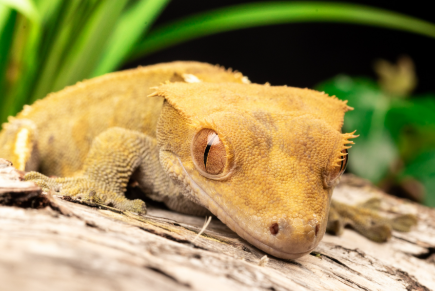 Crested gecko mating.