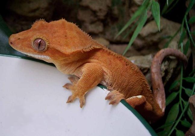 Humidity in vivarium, enclosure or terrarium for crested gecko.